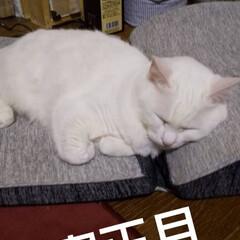 白猫/お正月2020/暮らし 新年明けましておめでとうございます🎵  …