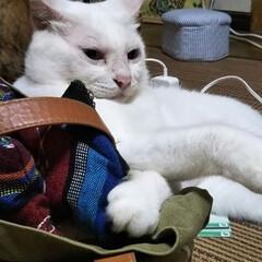 白猫/猫派/LIMIAペット同好会/にゃんこ同好会/至福のひととき もうお店は閉まってるから… おかしゃんの…