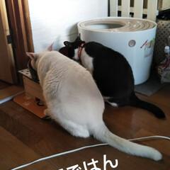 動物のいる暮らし/猫親バカ/朝ごはん/はちわれ猫/白猫 おはようございます🎵 にゃんずは今朝も食…