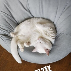 至福のひととき/ビーズクッション/オッドアイ/白猫/ニトリ おかあしゃんのクッション ちょっと貸して…