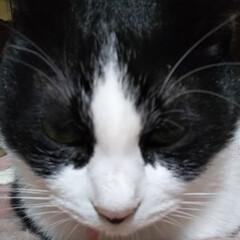 にゃんこ同好会/香箱座り/ハチワレ猫/暮らし おはようございますにゃ🐱 おかしゃんがお…
