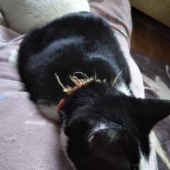 はちわれ猫/白猫/お昼寝/猫のいる暮らし 寒くなってきた。お母さんの側は暖かい で…