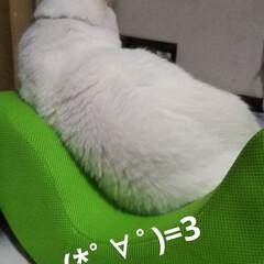 にゃんずあるある/ゆらころ/白猫 なぜか悩ましげにお父さんの 健康グッズを…