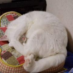 朝寝坊/オッドアイの猫/白猫/暮らし ふと見たら 眩しのか顔を隠し まだ眠いに…