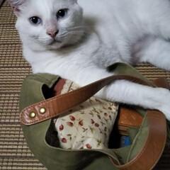 白猫/LIMIAペット同好会/にゃんこ同好会 お母さん、今日は何を買ってくればいい?晩…