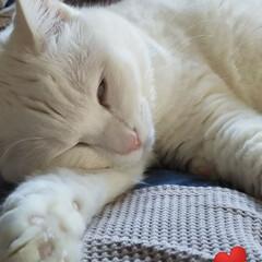 お昼寝/オッドアイの猫/白猫/暮らし おかあしゃんのお腹の上でお昼寝 気持ちい…
