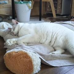 お昼寝/白猫/猫 おかあしゃんがエアコン付けてくれたので …