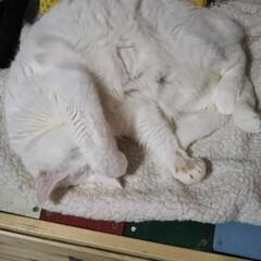 猫のいる暮らし/はちわれ猫/白猫/暮らし 今日も1日お疲れ様でしたにゃ。 明日も頑…