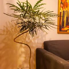 ソファ/IKEA/観葉植物のある暮らし/観葉植物/インテリア ソファ横のアラレア。 この曲がりが良いん…(1枚目)