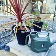100きん/玄関/じょうろアレンジ/じょうろ/植物/コルジリネ 暑くて、植物達も水を欲してます。 コルジ…