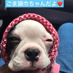 changoma/変顔/パピー/ボストンテリア/フォロー大歓迎/LIMIAペット同好会/...