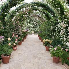 薔薇/バラ/あしかがフラワーパーク/旅行/風景/おでかけワンショット あしかがフラワーパークのバラのアーチ 不…