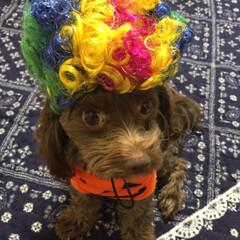 犬好きな人と繋がりたい/仮装/ハロウィン前夜祭/ミックス犬/チワプー/ハロウィン2019/... ハロウィン前夜祭👻🎃🍭🍬🍪👻