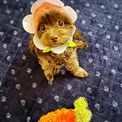 可愛い/犬/ミックス犬/チワプー/フォロー大歓迎 フラワー🌸ワンコ🐶🎵