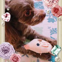 かわいい/動物好きさんと繋がりたい/犬好きな人と繋がりたい/ミックス犬/チワプー/フォロー大歓迎 この角度が好きなのです😍