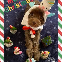 犬/ミックス犬/チワプー/クリスマス2019/フォロー大歓迎 1日遅れの🎄⛄Merry X'mas🎅💫…
