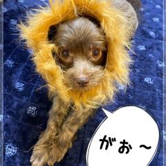 動物好きさんと繋がりたい/犬好きさんと繋がりたい/ライオン/犬/ミックス犬/チワプー/... 子ライオン🎵🦁❤