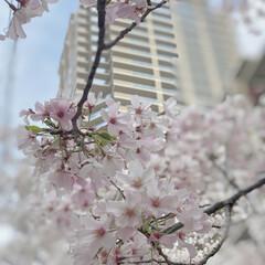 桜色/ピンク/春うらら/春爛漫/花見/桜/...