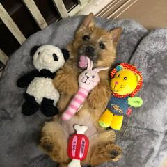 赤ちゃん/puppy/ペット/ノーリッチテリア/テリア/LIMIAペット同好会/... 欲張り娘🐶💖