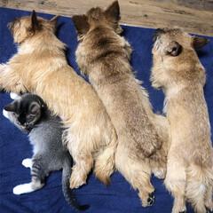 puppy/家族/ファミリー/ペット/テリア/猫/... 雨の日はみんなでおやすみ😴💤