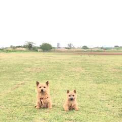 puppy/ペット/ノーリッチテリア/テリア/お散歩/ファミリー/...