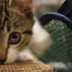 ネコ/猫/子猫/仔猫/かわいい/カメラ目線 かまってよぉ、、