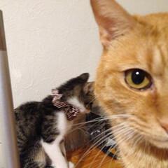 猫/ネコ/先住ネコ/仔猫/子猫 、、誰だよぉ、、こんな子知らないよ、、 …