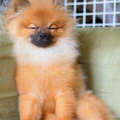 ふわふわ/もふもふ/パグ座り/ポメちゃん/ポメラニアン/犬猫あるあるフォト投稿コンテスト/... 座ったままでも 眠れちゃうんだなあ🐶