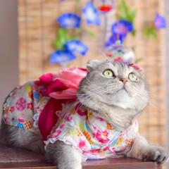 猫/つぶまろ/スコティッシュフォールド/浴衣/猫服 これから花火を見に行くニャン
