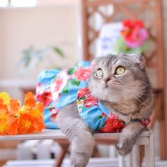 猫/スコティッシュフォールド/つぶまろ/猫服 気分だけアロハ〜♪