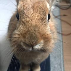 雑種/ウサギ うちのウサギくん 真正面でカメラ目線! …