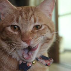 猫/ねこ/茶トラ あっついなぁ~、おいしいもの、ないかなぁ…