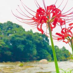 川/彼岸花/花/朱色 今年も近所にある水辺公園で、彼岸花撮って…