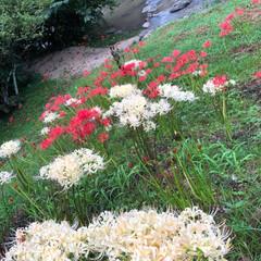 フォト/お彼岸/彼岸花/花 やっと赤い彼岸花の撮影に行けたぁ(*´ …