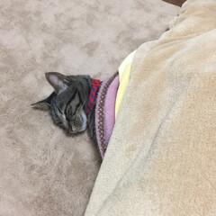 キジトラ/保護猫/LIMIAペット同好会/フォロー大歓迎/ペット/ペット仲間募集/... キジトラの😻こまめ  コタツから😻顔出し…