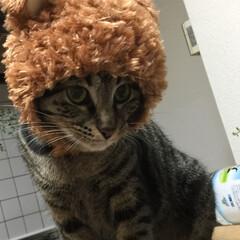 ペット被り物/キジトラ/保護猫/LIMIAペット同好会/フォロー大歓迎/ペット/... 😻こまめ 被り物バージョン  服より、嫌…