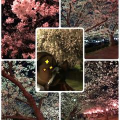 平成最後の/ペット/犬/風景 公園はワンコのお散歩 ついでに夜桜見物 …