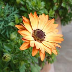 毎年咲く花達/オステオスペルマム/春の一枚 4年目のオステオスペルマム(2年かかって…