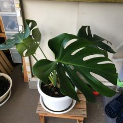 グリーン/100均観葉植物 100均の観葉植物がこんなになりました。