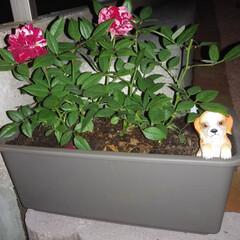 糞尿被害/ミニバラ/プランター/犬の置物/フォロー大歓迎/LIMIAファンクラブ/... 最近、家の前に犬の糞尿の被害に悩まされて…