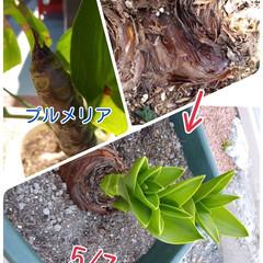 芽/プルメリア/フォロー大歓迎/LIMIAファンクラブ/風景/暮らし 冬に葉を落とした  プルメリアの葉が出て…(1枚目)