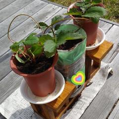 栽培/イチゴ/雑貨 近所の中学生が学校の課題で  イチゴ栽培…