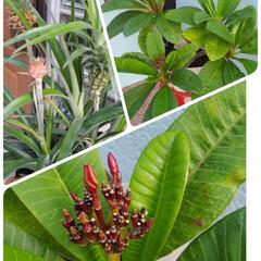 パイナップル/プルメリア/風景/暮らし/住まい プルメリアがもう少しで咲きそうです  早…
