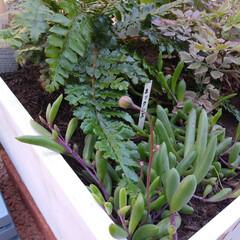 ガーデニング/蕾/ネックレス/多肉植物/風景/住まい おはようございます デグーマウスのヤマト…