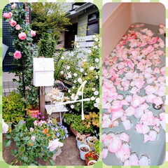 癒しのひと時/🌹のお風呂 今日の雨風で 🌹薔薇が散りまくってますが…(1枚目)