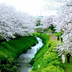 お出かけ/感謝/今年の桜 ピンク色🌸で ぽっ~と心を癒してくれた桜…