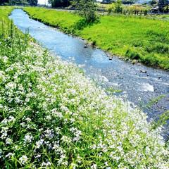 快適生活/散歩/ホームステイの気分転換 川沿い散歩に出かけました 土手にお花がい…
