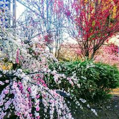 風景/春の一枚 何か おめでたい色合いの🌸花もも (2枚目)