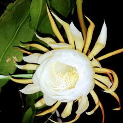花の香り/月夜/月下美人 月の綺麗な🌙*.。★*゚に 月下美人がが…(1枚目)