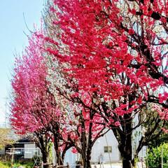 風景/春の一枚 何か おめでたい色合いの🌸花もも